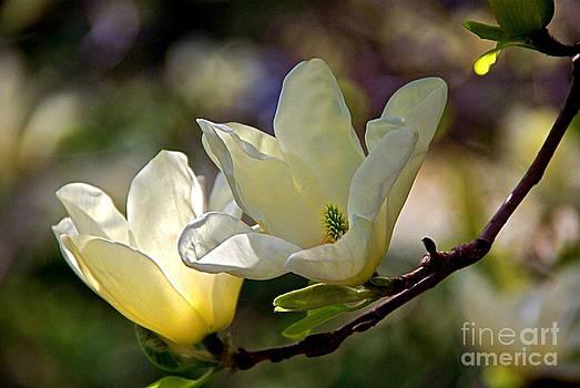 Byron Varvarigos - Marvelous Magnolia