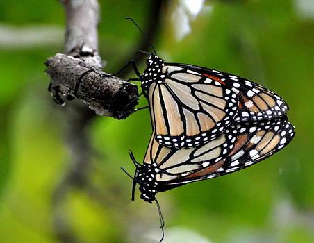 Marty Koch - Mating Monarchs