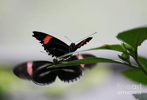 Mirrored Butterflies by Theresa Willingham