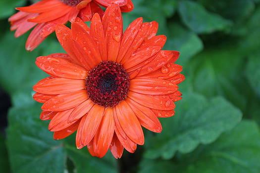 Miss Daisy by Bob Whitt