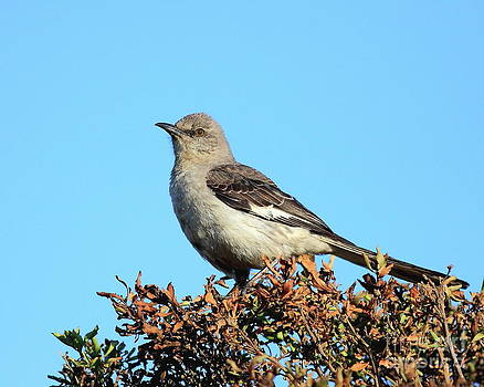 Wingsdomain Art and Photography - Mockingbird . 7682