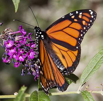 Monarch 2 by Stephen EIS