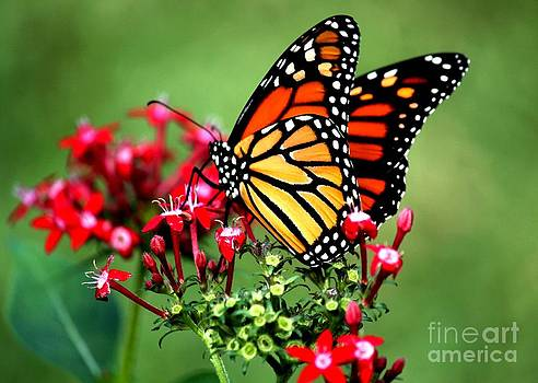 Monarch Aflutter by Theresa Willingham