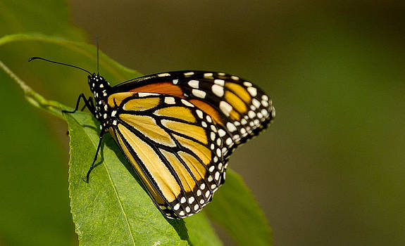 Monarch Beauty by Dean Bennett