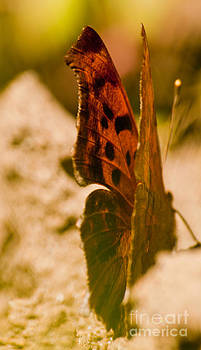 Monarch Butterfly by Christine Amstutz