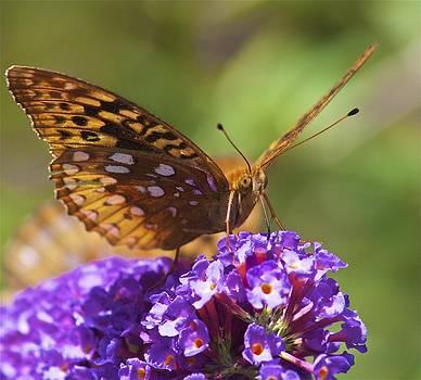 Monarch Butterfly  by Jennifer Lamanca Kaufman