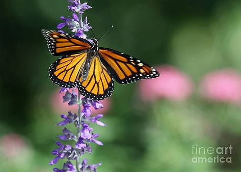 Sabrina L Ryan - Monarch Butterfly on Purple Flowers