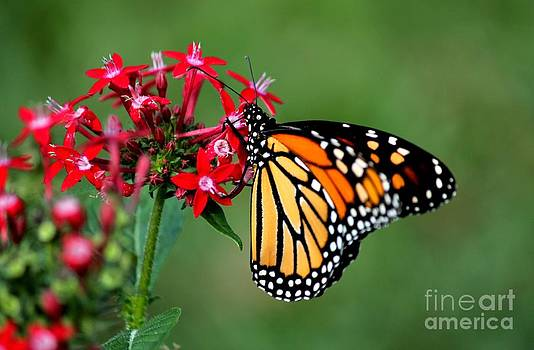 Monarch Butterfly by Theresa Willingham