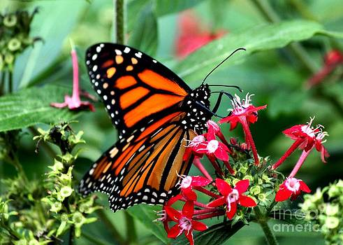 Monarch Feeding by Theresa Willingham