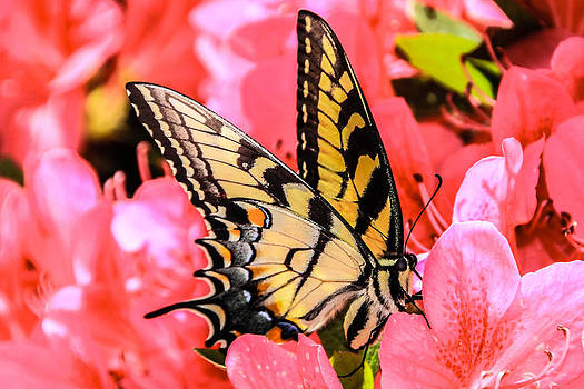 Monarch in Pink by Kaye Seaboch