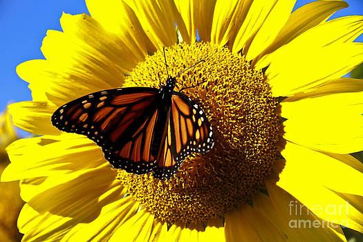 Brenda Giasson - Monarch Morning