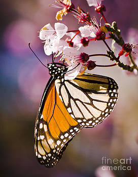 Darcy Michaelchuk - Monarch on a Flower