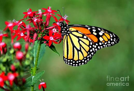 Monarch on Penta by Theresa Willingham