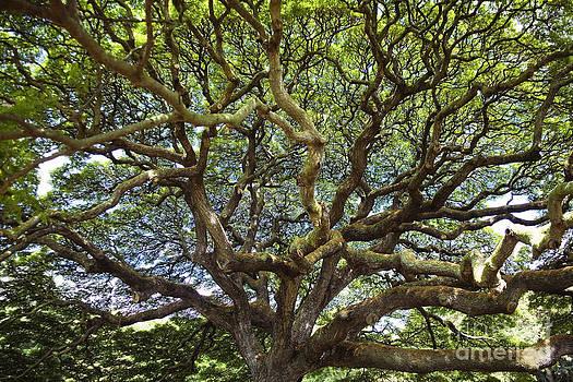 Charmian Vistaunet - Monkey Pod Branches