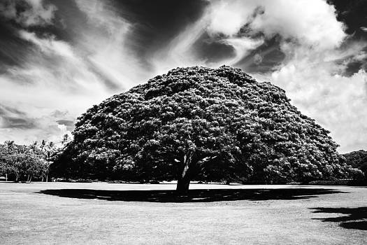 Charmian Vistaunet - Monkey pod tree in Black and White