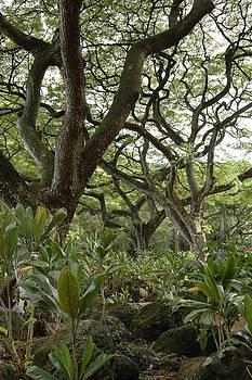 Monkeypod Trees by Kathy Schumann