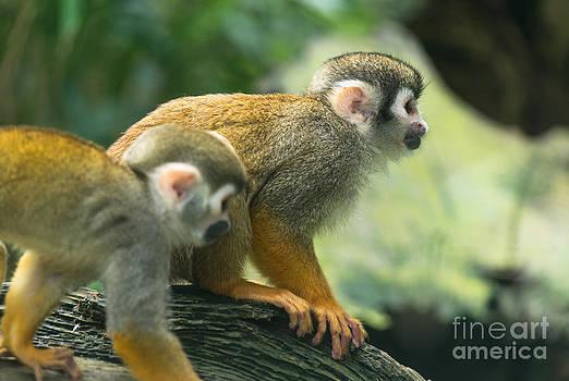 Monkeys climbing by Andrew  Michael