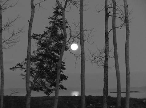 Moon Birches Black and White by Francine Frank