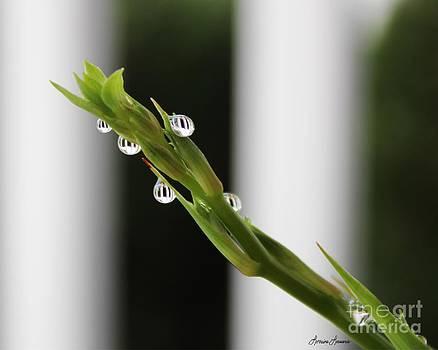 Morning Dew 1 by Lorraine Louwerse