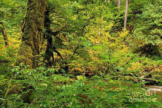 Adam Jewell - Mossy Rainforest