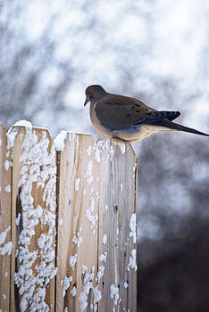 Mourning Dove by Kimberly Deverell