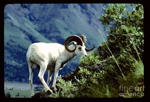 Moutain Goat by Absolute Photography