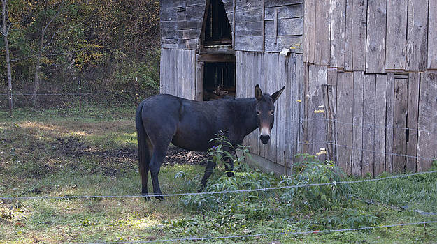 Mule by Tony Hammer