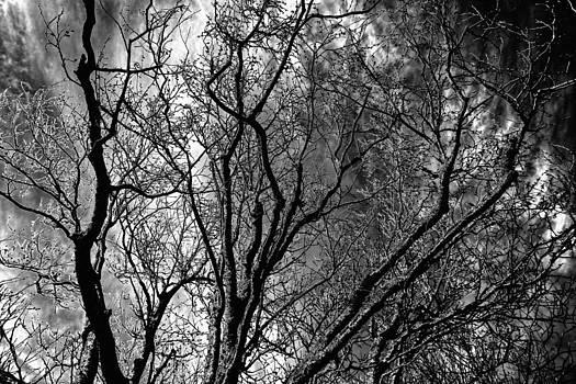 Mullberry Tree against Sky by Mark Wagoner