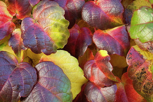 Gilbert Artiaga - Multicolored Ivy
