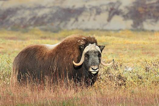 Musk Ox in Prudhoe Bay by Sam Amato