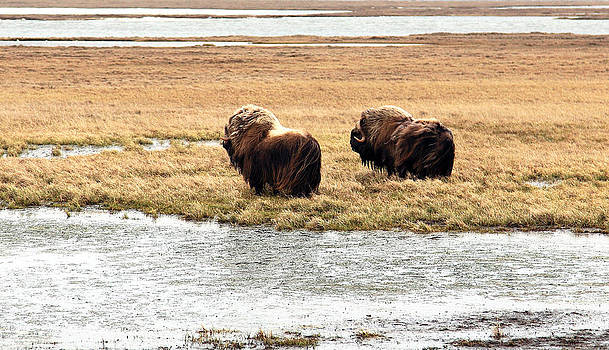 Muskox On The Tundra by Wyatt Rivard