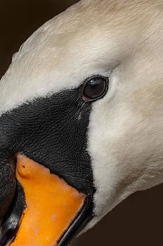 Mute Swan Close Up by Andy Astbury