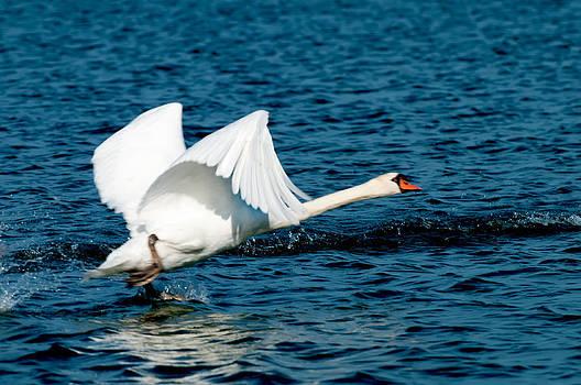 Randall Branham - Mute Swan gaining Momentum