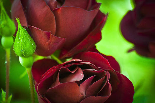 My Beloved's Roses by Steve Buckenberger
