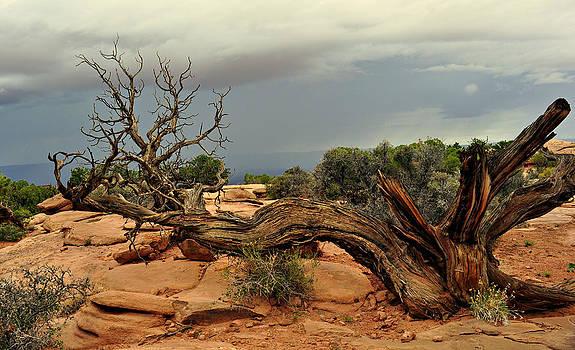 Marty Koch - Narley Tree
