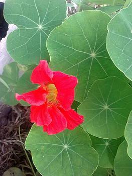 Nasturtium Leaves and Flower by Jeannine Davidoff