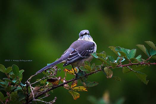 Northern Mockingbird by Virag Yelegaonkar