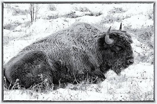 Northern Woodland Buffalo by Steve  Milner