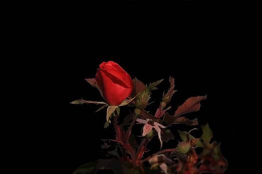 November Rose by Anthony Wilder