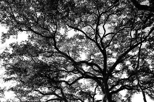 Oak tree by Alyssa Marek