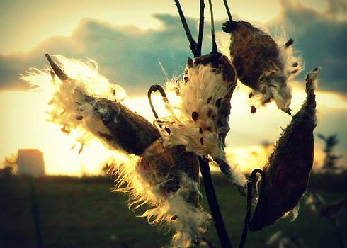 October Milkweed by Josie Dupuis