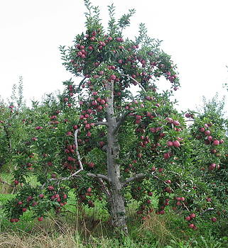 Old Apple Tree by Barbara Ferreira