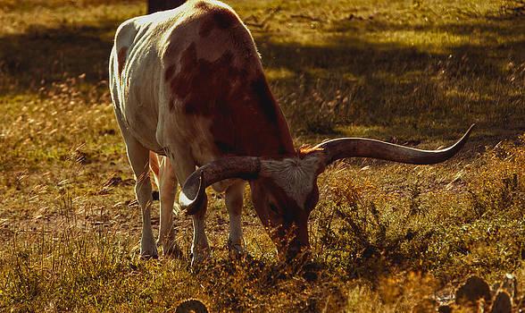 Older Texas Long Horn  by Kelly Rader