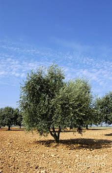 BERNARD JAUBERT - Olive tree in Provence