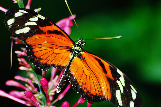 Scott Hovind - Orange and Yellow with Wings Spread