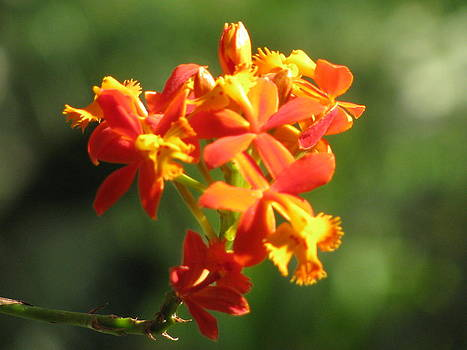 Alfred Ng - orange  butterfly orchid