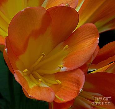 Orange Delight by Robert Pilkington