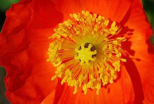 Orange Icelandic Poppy by Marilynne Bull