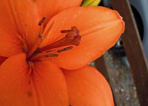 Julie Williams - Orange Lily