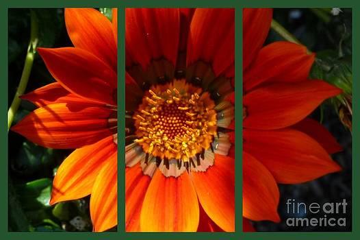 Sue Wild Rose - Orange Triptych